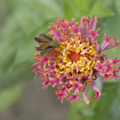 Location: My North zinnia gardenDate: September 2015#Pollination  Razzle Dazzle zinnias are fully attractiv