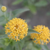 Location: My North zinnia gardenDate: October 2015Hybridization is extending the Razzle Dazzle color rang