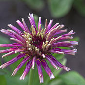 "Location: My South zinnia gardenDate: May 2014Some Whirligigs have slightly ""toothy"" petal ends"