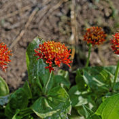Location: My North zinnia gardenDate: 2016-10-06Razzle Dazzle plants can form nice bushes