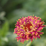 Location: My North zinnia gardenDate: July 2014The Razzle Dazzle florets can be rather closely packed