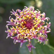 Location: My North zinnia gardenDate: July 2014Many Razzle Dazzle zinnias have bicolored floret petals