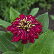 Location: My South zinnia gardenDate: May 2014Some Whirligigs have a marbled color pattern on their petals