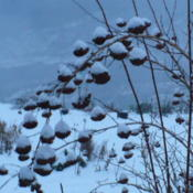 Location: Nora's Garden - Castlegar, B.C.Date: 2015-12-19 4:24 pm. Seed bunches draped in snow provide winter in