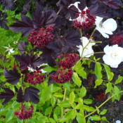 Location: Nora's Garden - Castlegar, B.C.Date: 2016-06-12 6:08 pm. Purple leaves, red seeds and the white Iceber