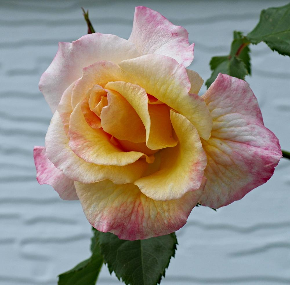 Photo of Rose (Rosa 'Moonlight') uploaded by dirtdorphins