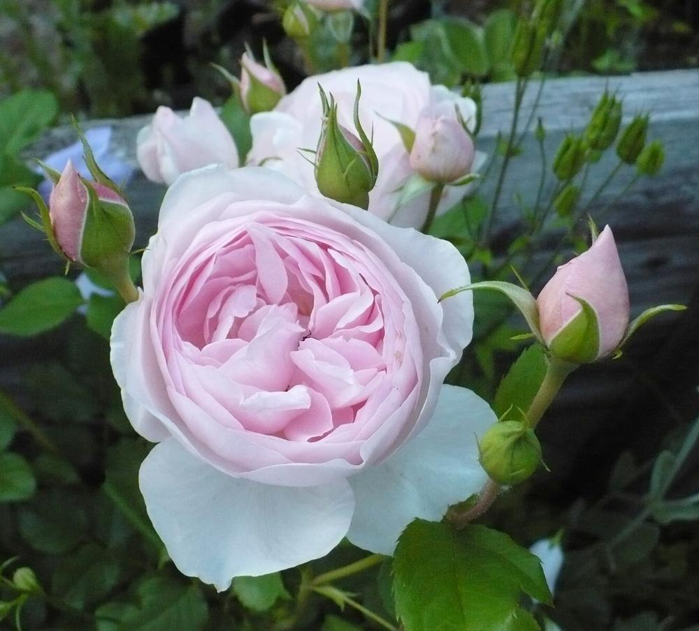 Photo of Rose (Rosa 'Heritage') uploaded by HemNorth