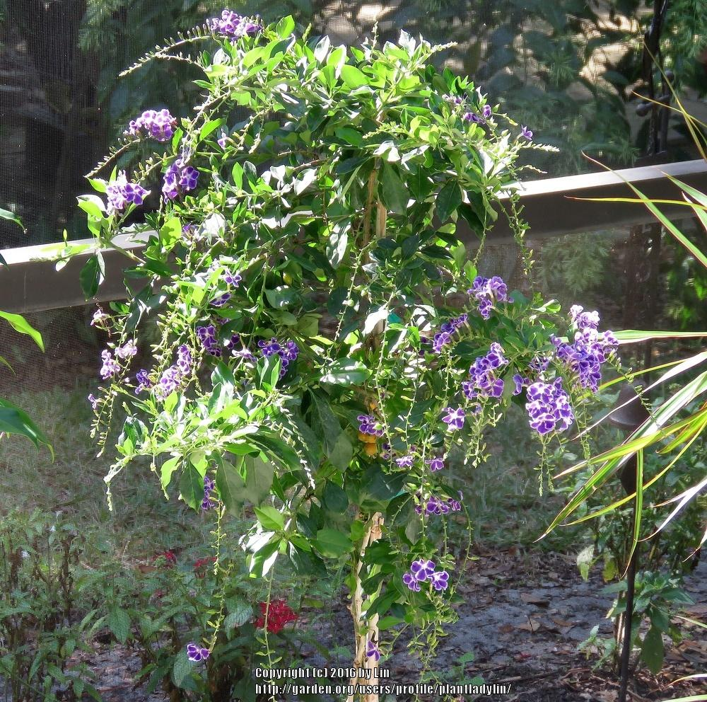 Photo of Golden Dew Drop (Duranta erecta 'Sapphire Showers') uploaded by plantladylin