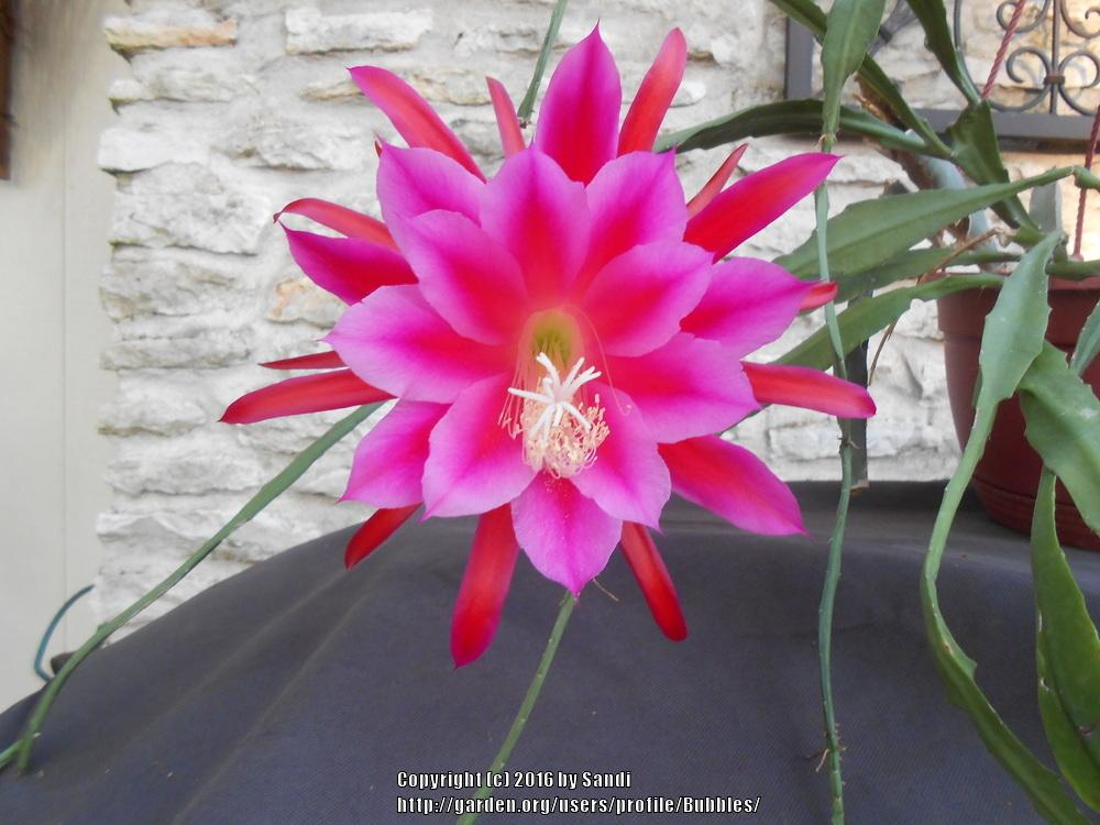 Photo of Epicactus (Epiphyllum 'Jungle Night') uploaded by Bubbles