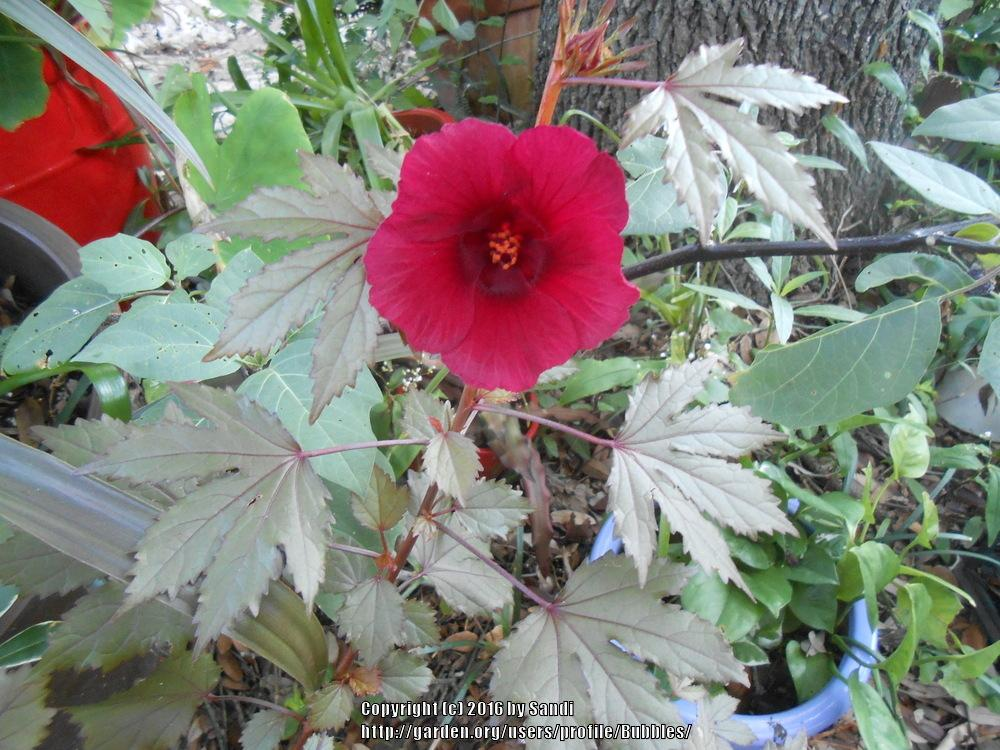 Photo Of The Bloom Of Red Leaf Hibiscus Hibiscus Acetosella Red