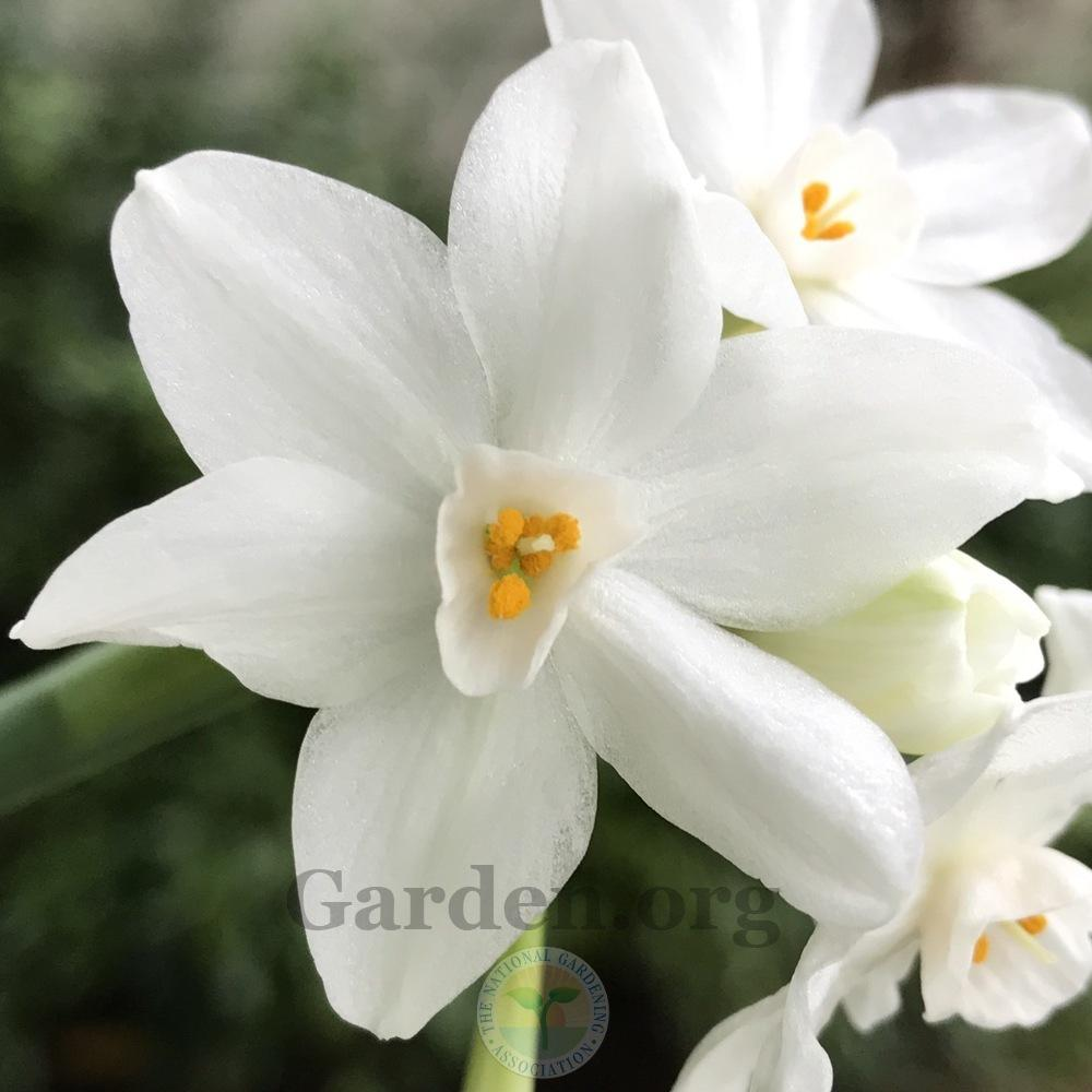 Photo of Paperwhites (Narcissus 'Ziva') uploaded by Patty