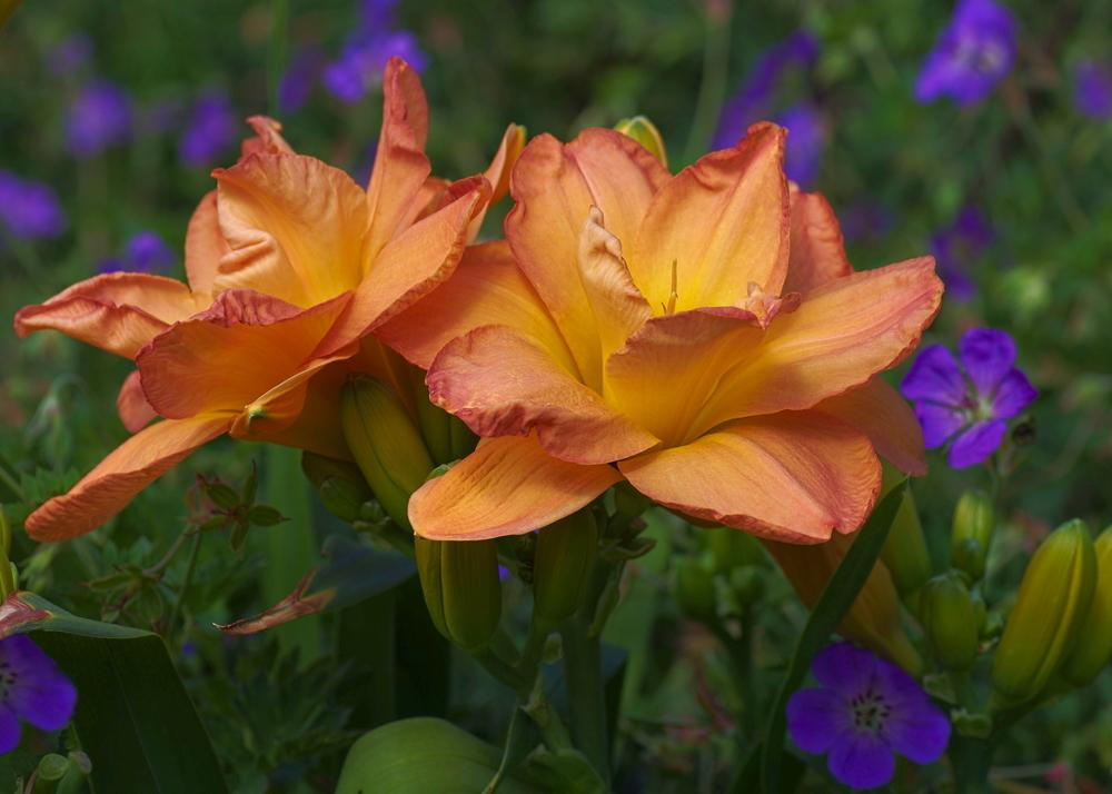 Photo of Daylily (Hemerocallis 'Frances Joiner') uploaded by dirtdorphins