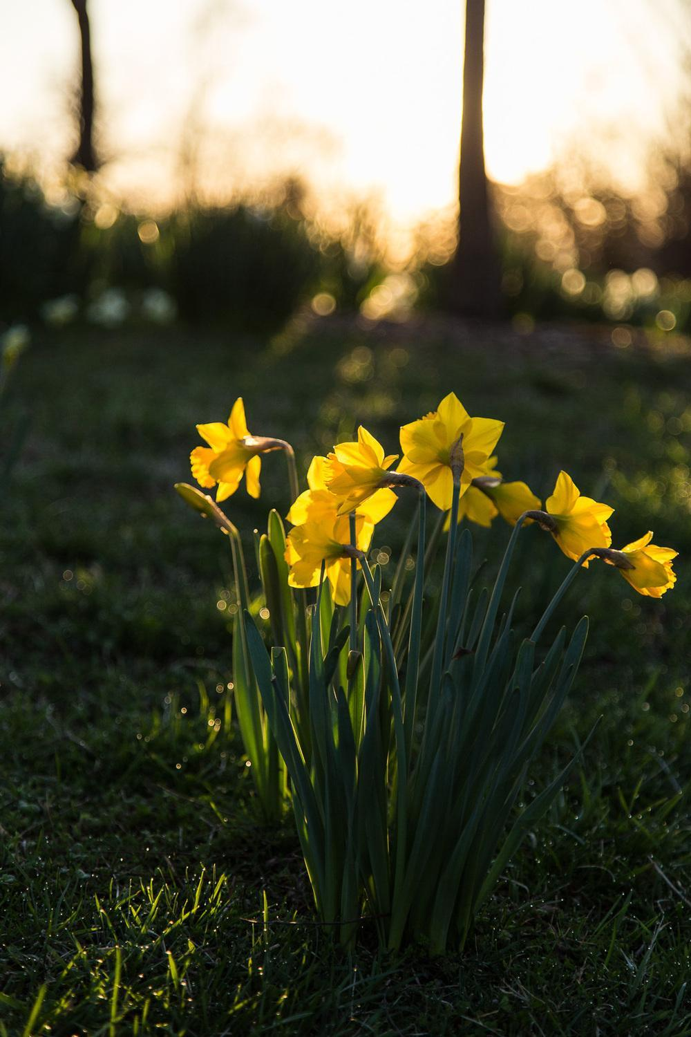 Photo of Daffodils (Narcissus) uploaded by KariRFrey