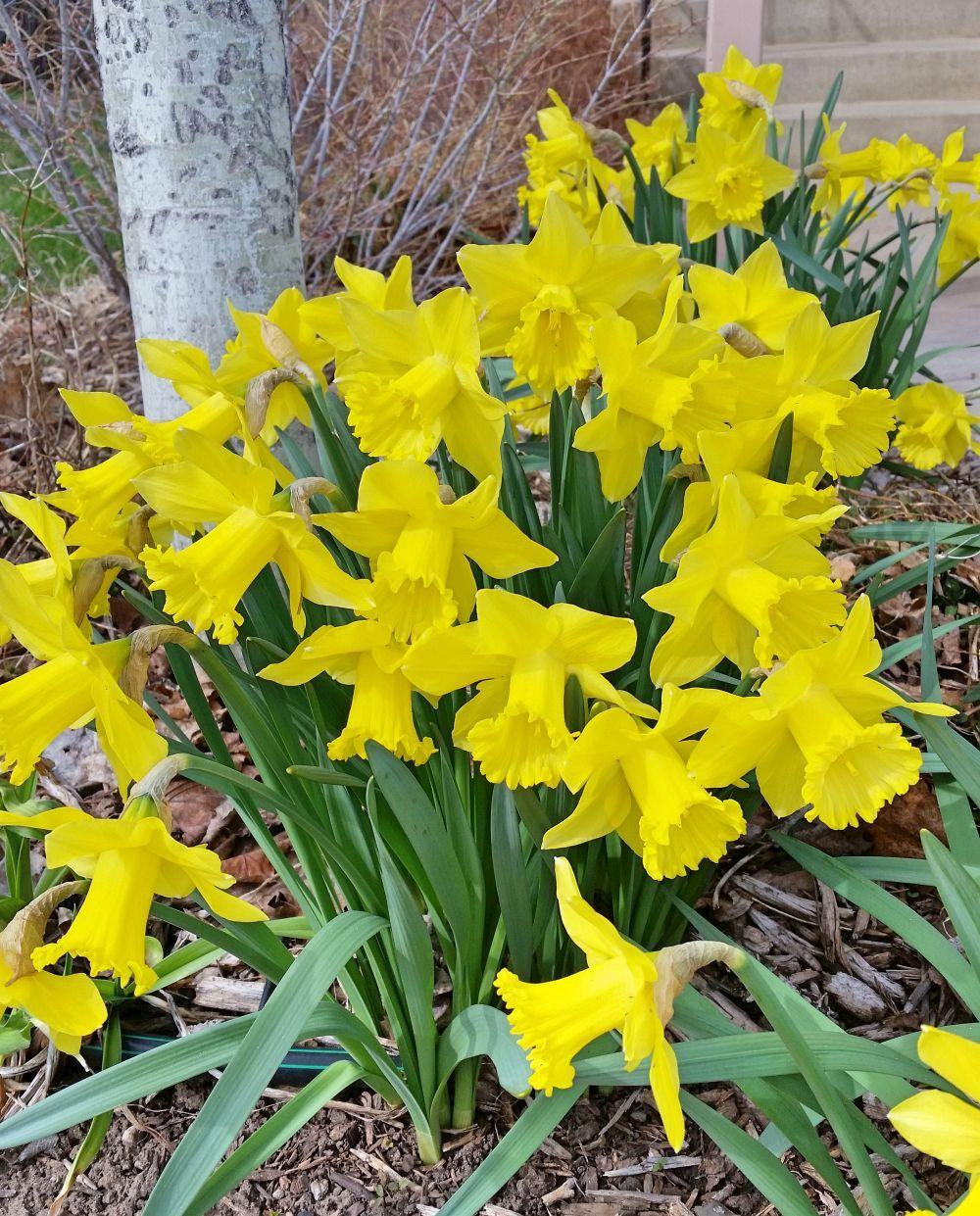 Photo of Daffodils (Narcissus) uploaded by grammie