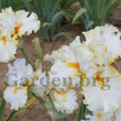 Location: Mid-America Gardens, Salem, OregonDate: 2016-05-05My photos are just reduced in size, what you see it wha