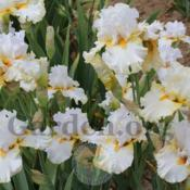 Location: Mid-America Gardens, Salem, OregonDate: 2016-05-05Iris bloom size and colors are effected by many factors