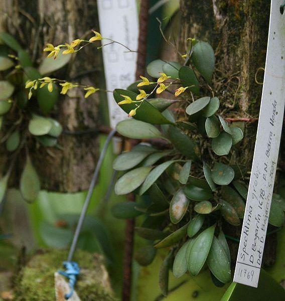 Photo of Orchid (Specklinia grobyi) uploaded by robertduval14