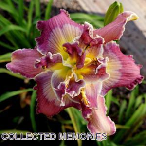 Photo courtesy of Ladybug Daylilies. Used with permission.