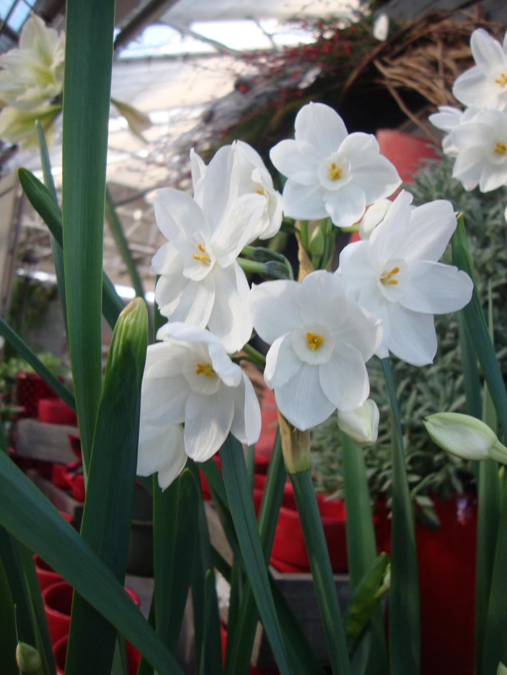 Photo of Paperwhites (Narcissus 'Ziva') uploaded by Paul2032