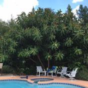 Location: Chuluota, FL zone 9bDate: 2016-07-26This is my brother's tree, great for pool side doesn't drop too m