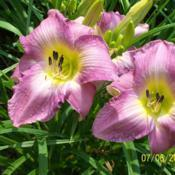 Photo of Daylily (Hemerocallis 'Sovereign Queen')