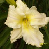 Photo of Daylily (Hemerocallis 'Candle in the Wind')