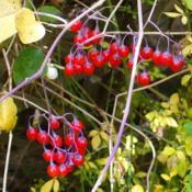 Location: Riverview, Robson, B.C.Date: 2012-10-16 3:03 pm. Exotic looking berries - but don't eat them!