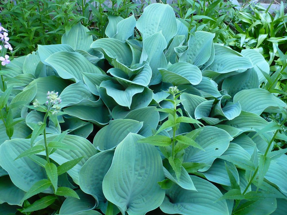 Photo of Hosta 'Krossa Regal' uploaded by HemNorth