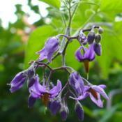 Location: Riverview, Robson, B.C.Date: 2009-08-05 1:34 pm. A beautiful blossom for a 'Deadly' Nightshade.