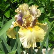 Location: Iris garden - full sunDate: 2016-0529Beautiful first (and subsequent) bloom.