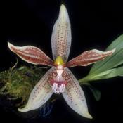 Photo of Orchid (Paphinia rugosa)