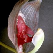 Photo of Orchid (Paphinia seegeri)