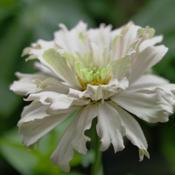 "Location: My indoor basement zinnia gardenDate: Winter 2014/2015Individual ""fancy"" petals make a fancy bloom."