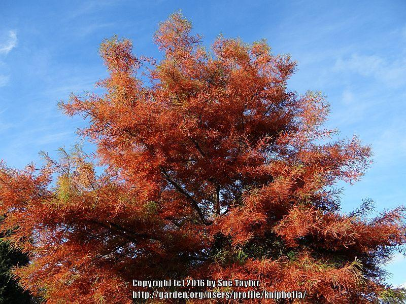 Photo of Bald Cypress (Taxodium distichum) uploaded by kniphofia