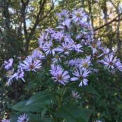 Photo of Late Purple Aster (Symphyotrichum patens)
