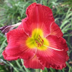Photo by Lewis Daylily Garden  used with permission