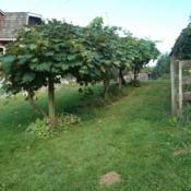 Location: Cedarhome, WashingtonDate: 2013-09-02Mixed variety of grapes trained to an overhead trellis with vario