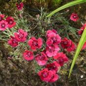Photo of Cheddar Pink (Dianthus 'Eastern Star')
