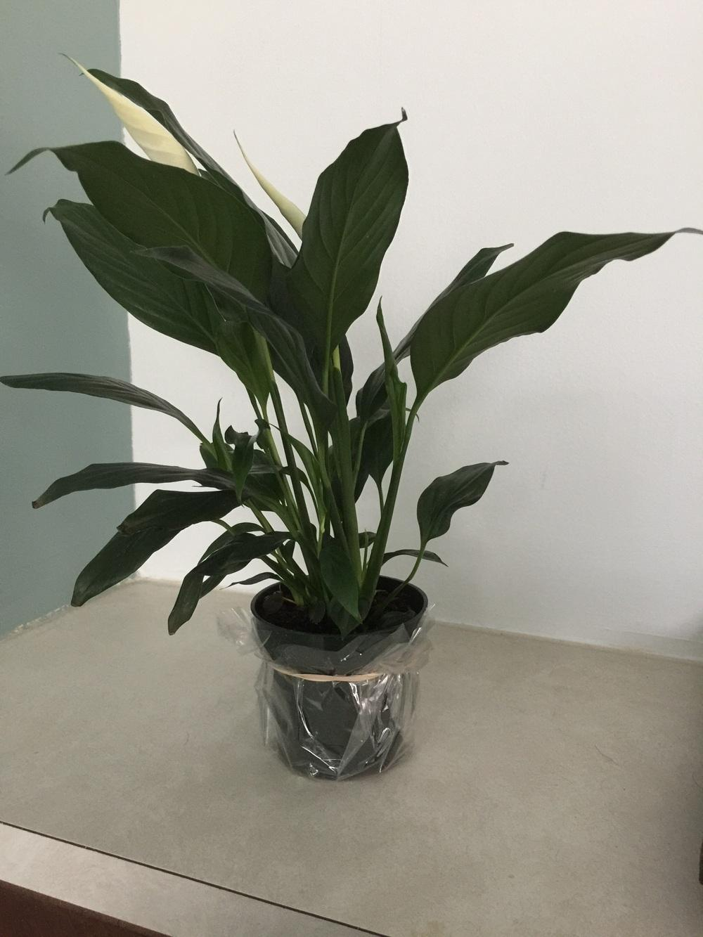 Ask a question forum how to grow peace lily as tall as possible thumb of 2016 12 09jtetra1330ebbc izmirmasajfo