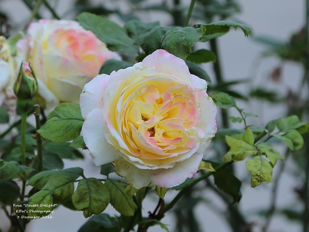 Photo of Rose (Rosa 'Double Delight') uploaded by kbw664