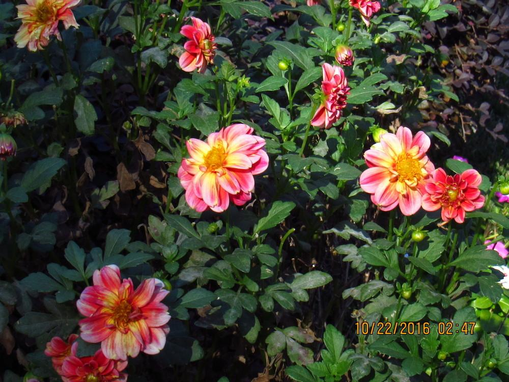 Photo of Dahlias (Dahlia) uploaded by kmspainhou