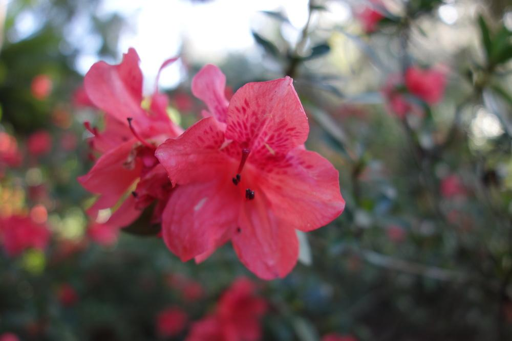 Photo of Azalea (Rhododendron 'Fashion') uploaded by mellielong
