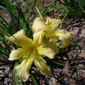 Photo courtesy of Nova Scotia Daylilies