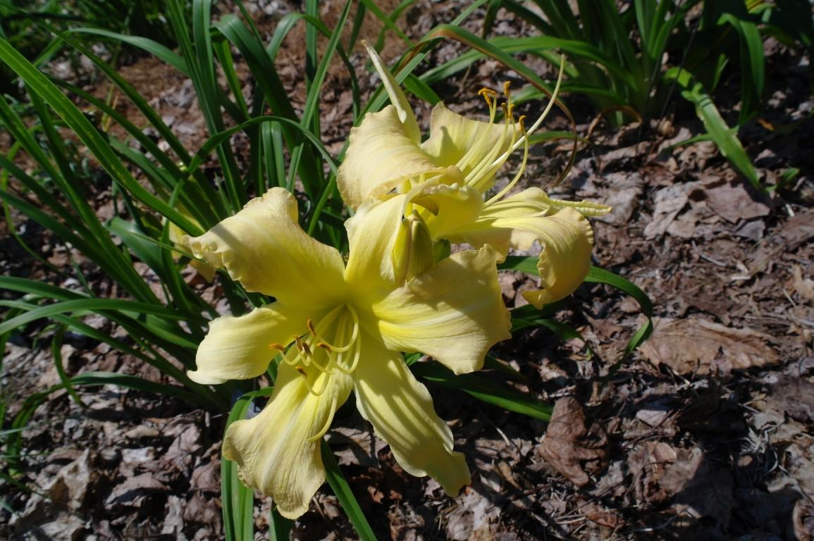 Photo of Daylily (Hemerocallis 'Just the Usual') uploaded by Calif_Sue