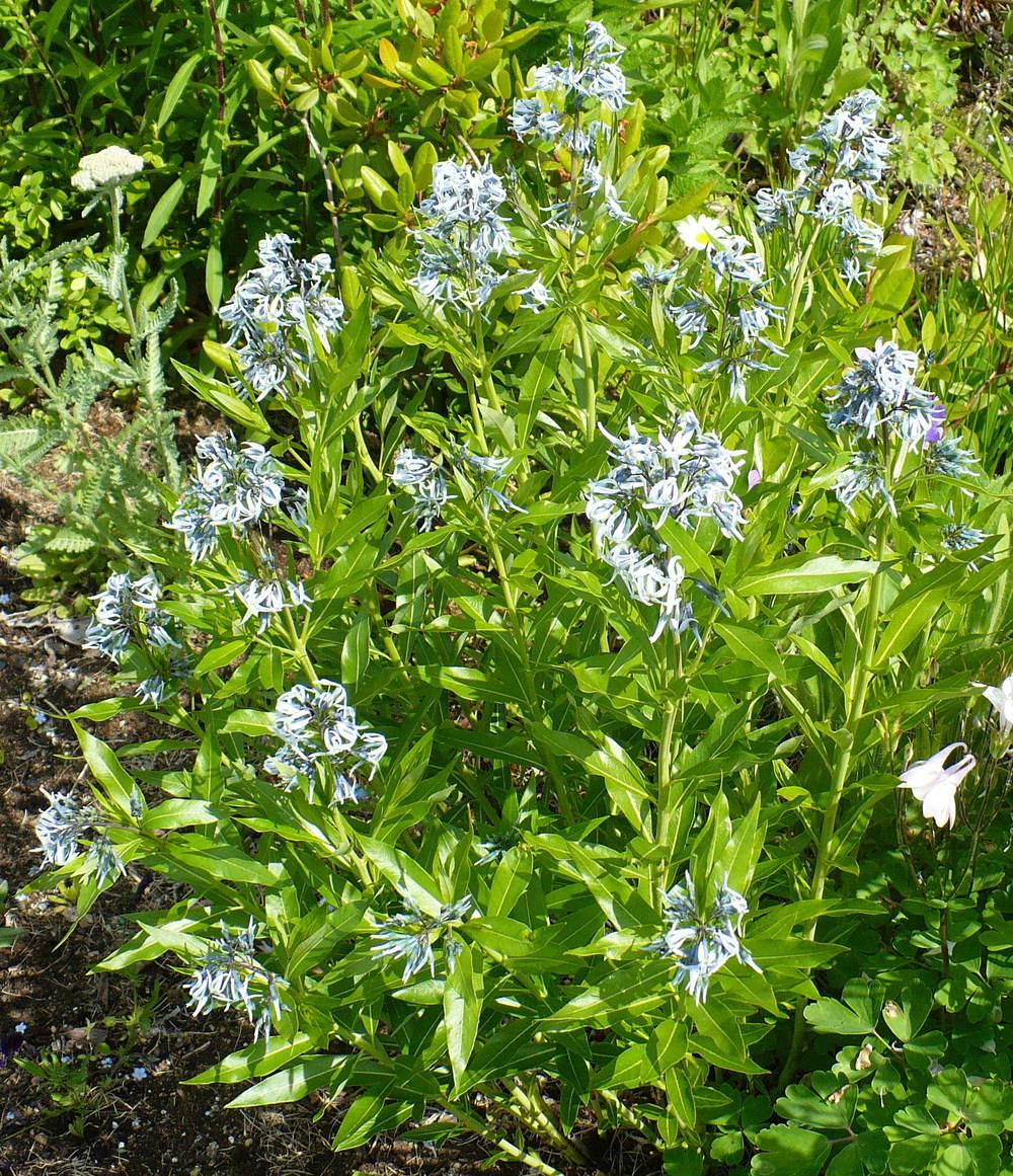 Photo Of The Entire Plant Of Blue Star Amsonia Tabernaemontana