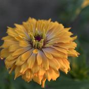 Location: My North zinnia gardenDate: Fall 2014This large sturdy dark yellow hybrid zinnia showed a to