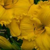 Photo courtesy of Roth Daylily Farm used with permissio