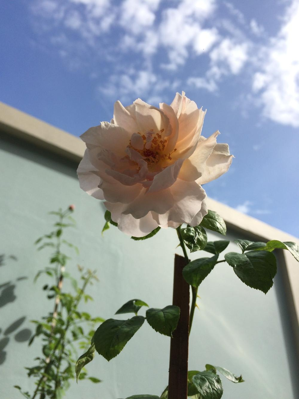 Photo of Rose (Rosa 'Strawberry Hill') uploaded by talaezai