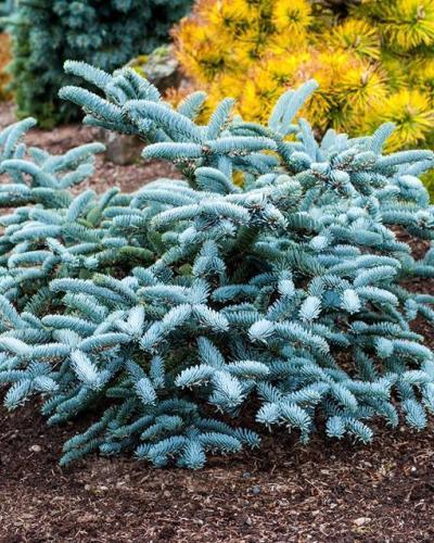Photo of Noble Fir (Abies procera 'Glauca Prostrata') uploaded by Calif_Sue