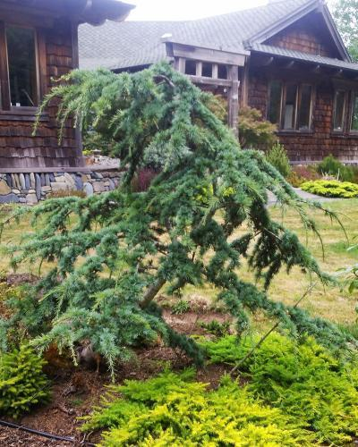 Photo of Atlas Cedar (Cedrus atlantica 'Cheltenham') uploaded by Calif_Sue
